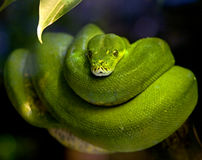 Green tree python 1 Stock Photo