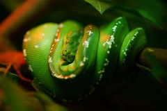 Green Tree Python. Morelia Viridis, a mostly arboreal species with a striking green or yellow color in adults. noise visible Stock Photo