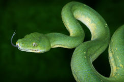 Green Tree Python. With dark green background Royalty Free Stock Images