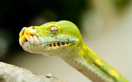 Green tree python. Royalty Free Stock Image