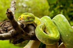 Free Green Tree Python. Royalty Free Stock Photo - 17135785