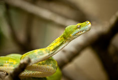 Green tree python. Royalty Free Stock Photos