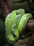 Green tree python. (Morelia viridis) terrarium inhabitant Royalty Free Stock Images