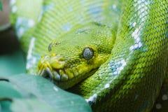 Green tree python Stock Photo