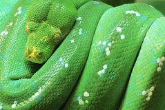 Green Tree Python. A green tree python curls on the tree royalty free stock photo