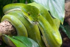 Green tree python. On a tree branch Stock Photos