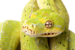 Green Tree Python Stock Images