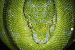 Free Green Tree Python Royalty Free Stock Photography - 7292457