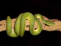 Green Tree Python 8 Royalty Free Stock Image