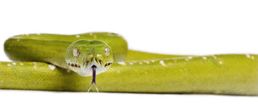 Green tree python against white background Stock Photography