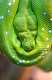 Green tree python Royalty Free Stock Image