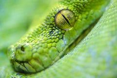 Green tree python Stock Images