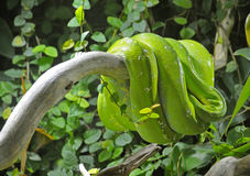 Green or tree python on branch. Green tree python or lies on a dry branch Stock Photos