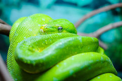 Green tree python on a branch Royalty Free Stock Images