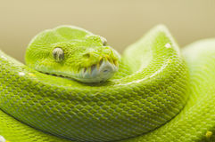 Green tree python bright Royalty Free Stock Photography