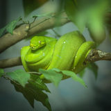 Green Tree Python Stock Image