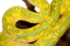 Green tree python, chondros isolated on  white Stock Images