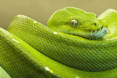 Green tree python clear Royalty Free Stock Image