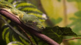 Green Tree Python Close-Up stock video footage