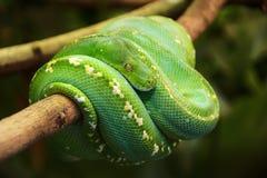 Green tree python Royalty Free Stock Photos