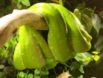 Green Tree Python Coiled in Tree Stock Image