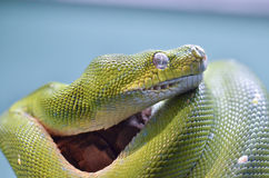 Green tree python 11 Stock Photos