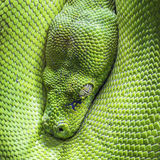 Green tree python eye Stock Image