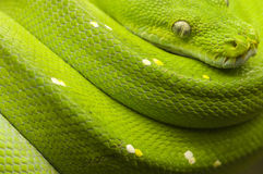 Green tree python full. Close up a green tree Python (Morelia viridis) in rest position on a branch facing the camera Royalty Free Stock Photos