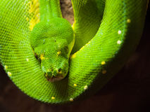 Green tree python hanging on the branch Royalty Free Stock Image