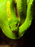 Green tree python hanging on the branch Stock Photos