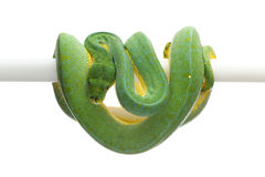 Green tree python isolated on white background. Green tree python isolated on white Stock Photos