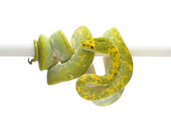 Green tree python isolated on white background. Green tree python isolated on white Stock Photo