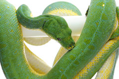 Green tree python isolated on white background. Green tree python isolated on white Stock Images