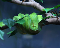 Green Tree Python Stock Photography