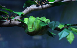 Green Tree Python Royalty Free Stock Image