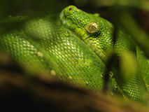 Green Tree Python (Morelia Viridis) Royalty Free Stock Image