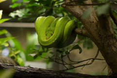 The green tree python (Morelia viridis) Stock Photos