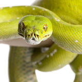 Green tree python - Morelia viridis (5 years old). In front of a white background Royalty Free Stock Image