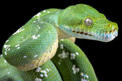 Green tree python (Morelia viridis) Stock Photos