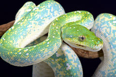 Green tree python (Morelia viridis) Royalty Free Stock Photos