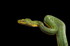 Green Tree Python. Morelia viridis.  black background Stock Photo