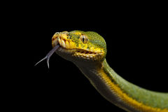 Green Tree Python. Morelia viridis.  black background Royalty Free Stock Image