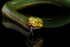 Green Tree Python. Morelia viridis.  black background Royalty Free Stock Images