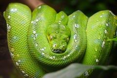 Green tree python Morelia viridis close up Stock Photography
