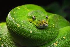 Green tree python Morelia viridis close up Royalty Free Stock Image