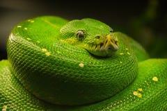 Green tree python Morelia viridis close up Stock Images