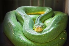 Green tree python Morelia viridis Stock Photo