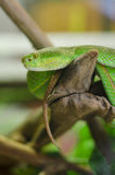 Green tree python Morelia viridis Stock Photography