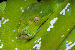 Green tree python / Morelia viridis Royalty Free Stock Images