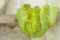 Green tree python or morelia viridis Stock Images